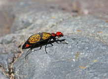 Iron Cross Blister Beetle Sideview Royalty Free Stock Photo
