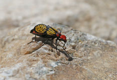 Iron Cross Blister Beetle Royalty Free Stock Image