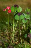 Iron Cross plant. Leaves and flowers of Iron Cross plant, also known as Four-leaved pink-sorrel stock photo