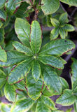 Iron deficiency or chlorosis on leaves Stock Photography
