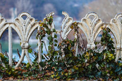 Iron fence, overgrown with ivy Royalty Free Stock Photos
