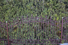 Iron fence and thuja Royalty Free Stock Photo
