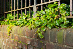 An iron fence on top of an ivy covered wall. Royalty Free Stock Photos