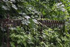 Iron grave fence in wild thickets of green vegetation in the old cemetery Royalty Free Stock Photo