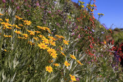 Iron Mountain Wildflowers. Iron Mountain is a hike that is popular for the masses of wildflower blooms in summer. This is an example Stock Photo