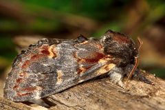 Iron prominent moth (Notodonta dromedarius) Stock Photos