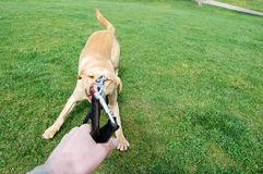 Iron Strong. Labrador retriever pulling hard the belt Royalty Free Stock Photo