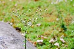 Ironweed pequeno, fleabane Cinza-colorido Imagens de Stock Royalty Free