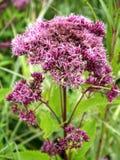 Ironweed - Vernonia Gigantea Arkivfoto