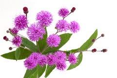 Ironweed wildflower Royalty Free Stock Photos