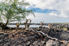 Ironwood Roots on Lava Stock Images