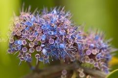 Ironwood tree flowers. Macro of ironwood tree flowers (Memecylon edule Royalty Free Stock Images