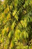 Ironwood & x28;Hopea odorata& x29; Royalty Free Stock Photography