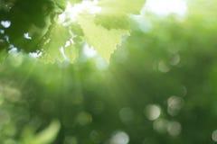 Irradia o nascer do sol com fundo borrado da planta verde Fotografia de Stock Royalty Free