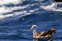 Irrande albatross Arkivbild