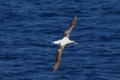 Irrande albatross Arkivfoton
