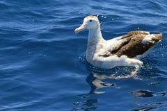 Irrande albatross Fotografering för Bildbyråer