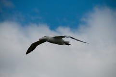Irrande albatross i flykten Royaltyfri Foto