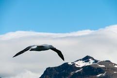 Irrande albatross i flykten Arkivbild