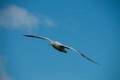 Irrande albatross i flykten Arkivbilder