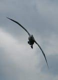 Irrande albatross i flykten Arkivfoton