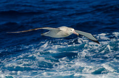 Irrande albatross på havet Royaltyfria Bilder