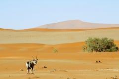Irrande dyn av Sossuvlei i Namibia Royaltyfri Bild
