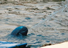 Irrawaddy dolphin Royalty Free Stock Images