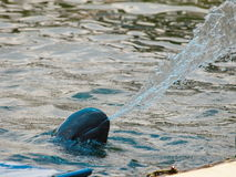 Irrawaddy dolphin Royalty Free Stock Photos