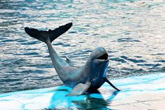 Irrawaddy dolphin show. In aquarium,Thailand Stock Photos