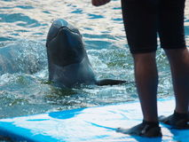 Irrawaddy dolphin Show Stock Images