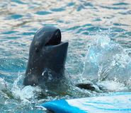 Irrawaddy dolphin Show Royalty Free Stock Photos