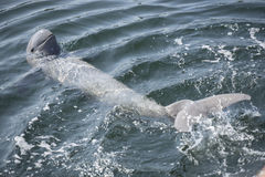 Irrawaddy dolphin. Irrawaddy dolphin swimming in ocean Stock Photos