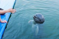 Irrawaddydolfijn die in het water drijven Stock Foto's