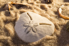 Irregular sea urchin in sea sand Royalty Free Stock Photo