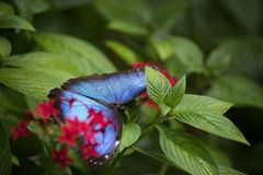 Irridescent蓝色Morpho蝴蝶在费尔柴尔德热带植物园的蝴蝶议院里 图库摄影