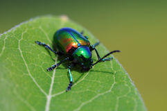 Irridescent beetle Royalty Free Stock Image