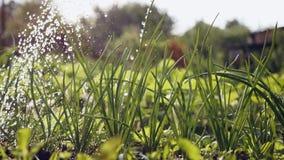 Irrigação de cebolas verdes no jardim video estoque