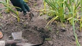 Irrigação de cebolas verdes no jardim Os tiros novos de cebolas verdes crescem em à terra e as mãos fêmeas plantam plantas filme