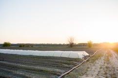 Irrigação de gotejamento no campo Benefícios: colheita adiantada, economia da água Vegetais org?nicos crescentes cultivar agricul imagens de stock