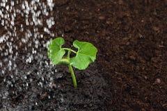 Irrigação de um broto de feijão fotografia de stock royalty free