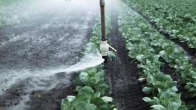 Irrigação do campo da couve vídeos de arquivo