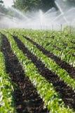 Irrigação dos vegetais Foto de Stock Royalty Free