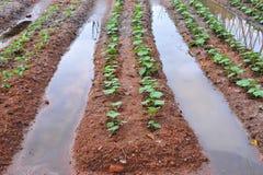 Irrigação em uma exploração agrícola vegetal Imagem de Stock Royalty Free