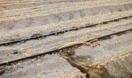 Irriga??o de gotejamento no campo Benef?cios: colheita adiantada, economia da ?gua Vegetais org?nicos crescentes cultivar agricul foto de stock royalty free