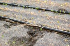 Irriga??o de gotejamento no campo Benef?cios: colheita adiantada, economia da ?gua Vegetais org?nicos crescentes cultivar agricul foto de stock