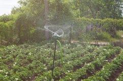 Irrigación de la patata en un día de verano caliente fotografía de archivo