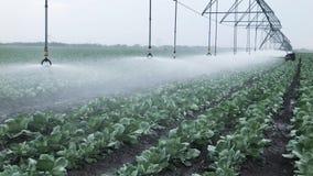 Irrigación del campo de la col almacen de video