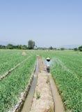 Irrigación del campo del ajo imágenes de archivo libres de regalías