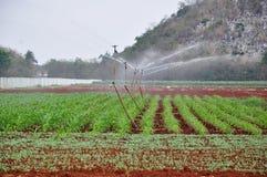 Irrigación del maíz con las regaderas fotos de archivo libres de regalías